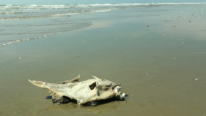 Dead fish on a beach on the pacific coast of ecuador stock footage dead fish on a beach on the pacific coast of ecuador stock footage video 2389256 shutterstock publicscrutiny Image collections