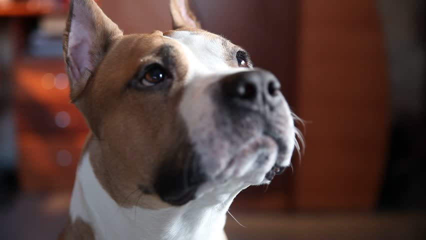 Header of American Staffordshire Terrier