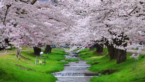 Cherry blossoms blooming in Japan.