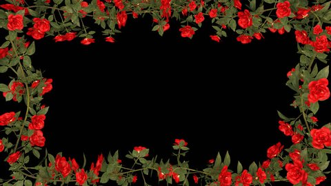 Red roses Growing frame. Perfect for a wedding or a romantic movie . Alpha channel.