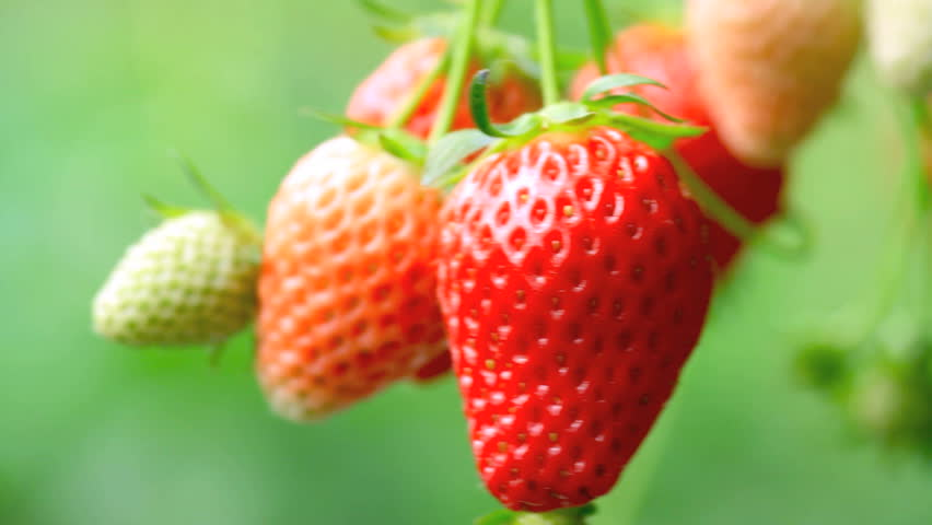 Appetizing strawberry in the plantation.
