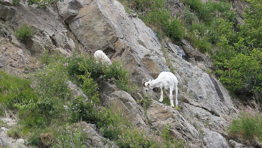 Dall sheep, female mother ewe on steep rocky mountain cliff and ledges near Anchorage Alaska. Along mountain in Turnagain Arm. Eating grass. Pure white wild sheep. Wildlife in the wild.