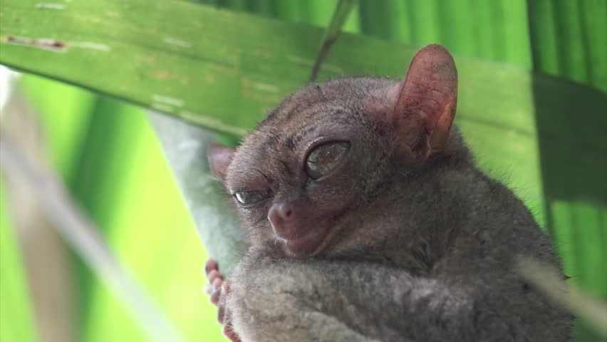 Footage of the Philippine Tarsier live wild in the jungle in Bohol Philippine. The animal is clinging to a branch while it observes the world around him. Known locally as mawmag in Cebuano / Visayan.