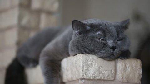 close-up - funny purebred cat