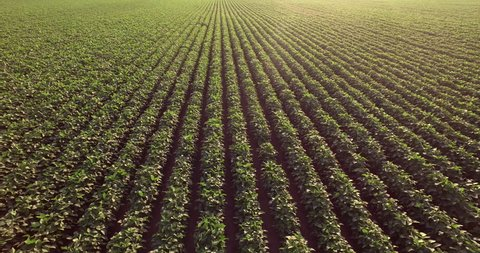 Aerial flight over  soy rows