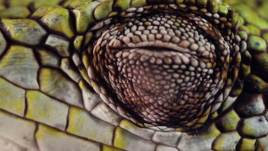 Berthold's Bush Anole (Polychrus gutturosus spurrelli)
