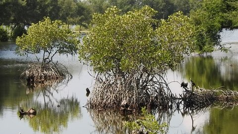 Peaceful mangrove swamp with little pied cormorant standing on mangrove roots and then fly away, in Serangan island, Bali, Indonesia