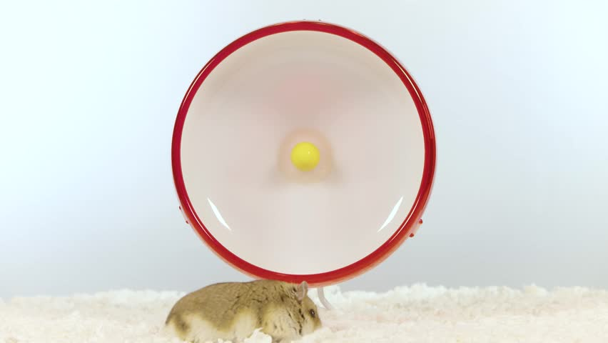 Small brown hamster running fast on red wheel wide shot
