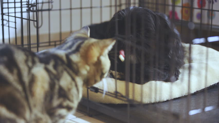 Small black dog in cage eating snack while cat observing 4K. Handheld long shot of black dog in focus while lying in black cage. British cat in front and outside cage out of focus.
