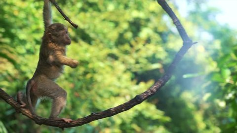 baby monkey hanging on liana in lowland rainforest