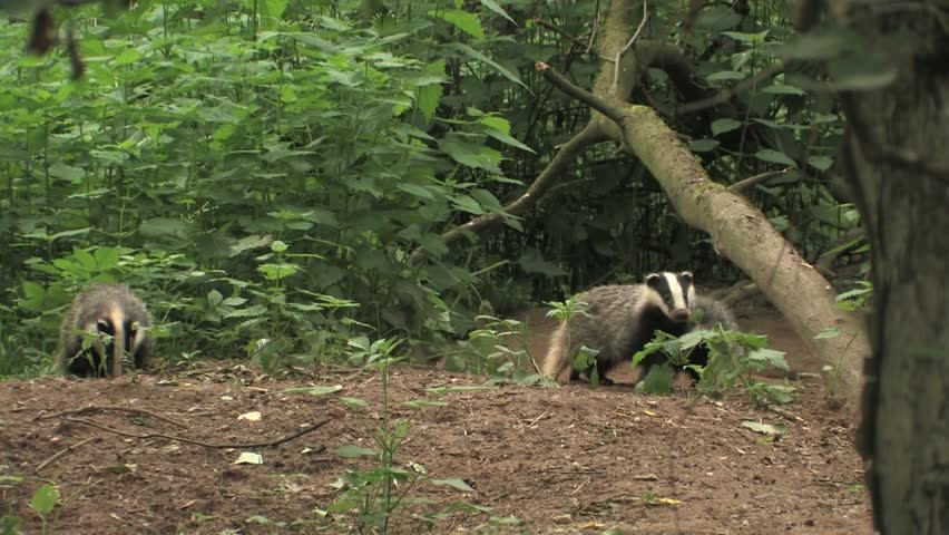 Young badgers playing in wood - wildlife
