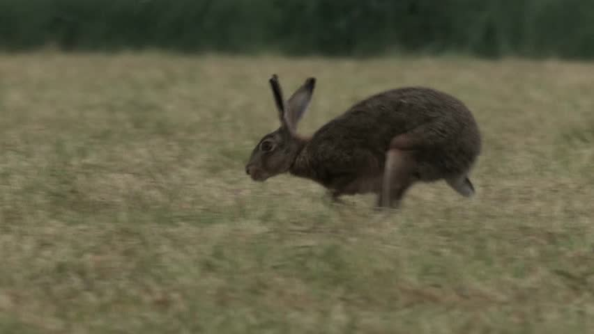 Hare sitting on field and running away - wildlife