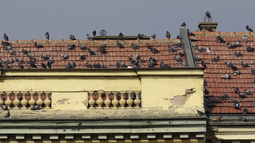 SLOW MOTION: Flock of pigeons on the roof of a big historical building. Shot in Nis, Serbia. Banovina building in Nis, south Serbia.