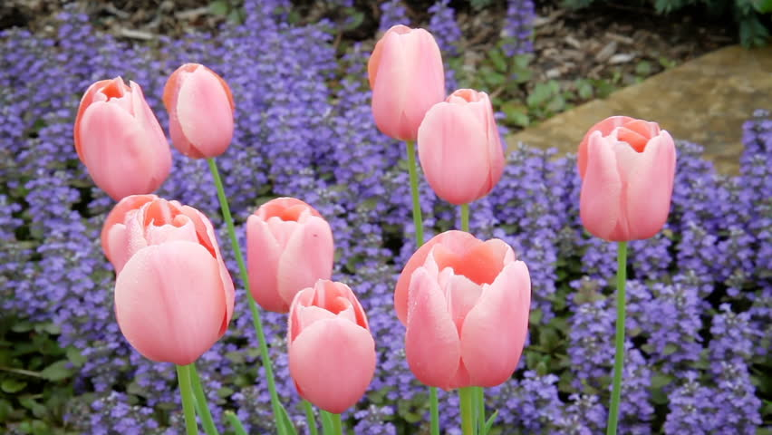 Video footage features pastel pink tulips swaying in a gentle breeze with purple ajuga (bugleweed) flowers blooming below. Looped with fade at end.