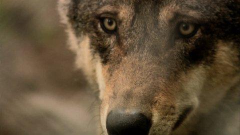 A wolf, close-up