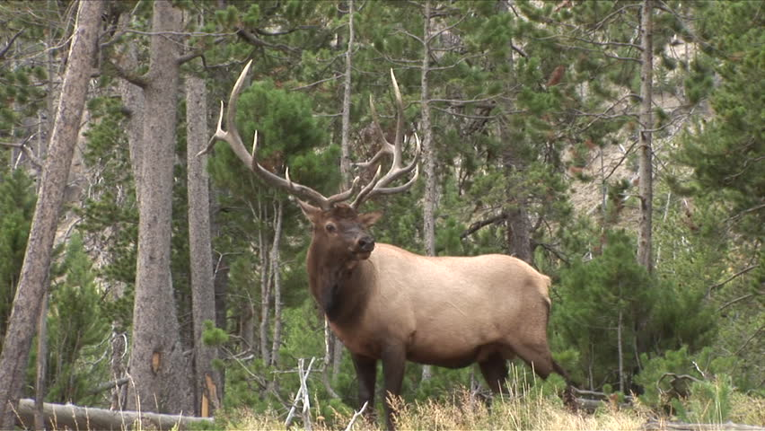 View of a massive Elk bull in the woods of Yellowstone National Park Wyoming United States