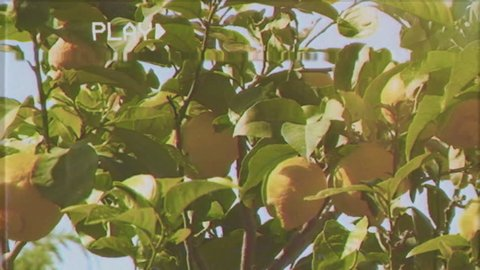 Fake VHS shot: a close-up shot of a lemon tree (citrus citrus), full of yellow ripe lemons, gently shaken by the wind. Light leaks filter in the camera. Warm, vintage mood. Spring-summer.