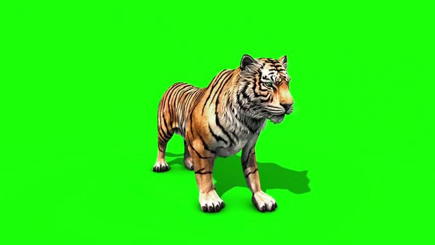 Tiger Big Roar Animals Front Green Screen 3D Rendering Animation