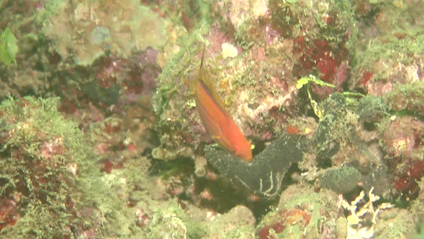 Filamented flasher (Paracheilinus filamentosus) swimming underwater in Solomon Islands