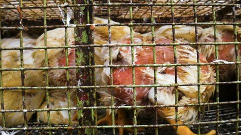 Chickens transport in cramped cage on a pickup