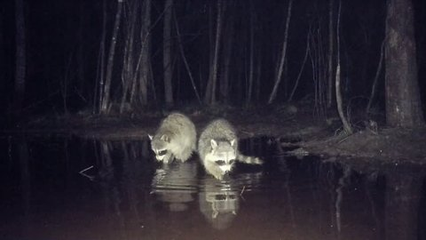 Raccoons (Procyon lotor) searching for food in a swamp at night. Searches the bottom of stream for crayfish, frogs, fish or many forms of food. March in southern coastal Georgia.