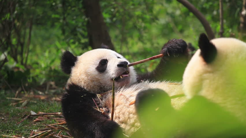 Two Chinese pandas eat bamboo, wildlife.