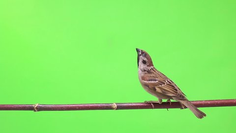 sparrows  isolations on a green  screen