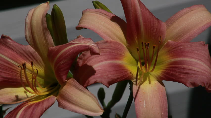Pink Daylily covered in shimmering water droplets