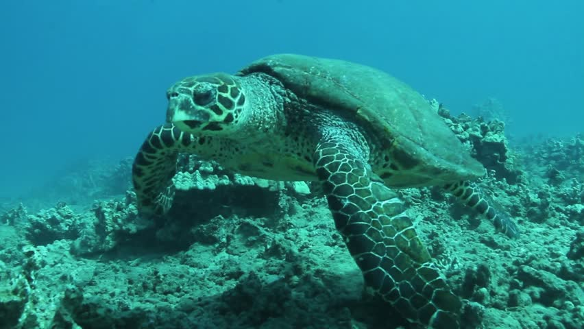 Large female green turtle swims by camera over shallow reef, maui