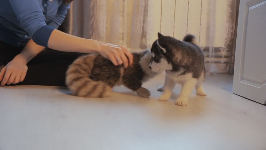 Puppy Siberian Husky and girl playing on the floor , dolly | Shutterstock HD Video #24770918