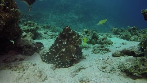 red sea octopus diving coral reef egypt dahab