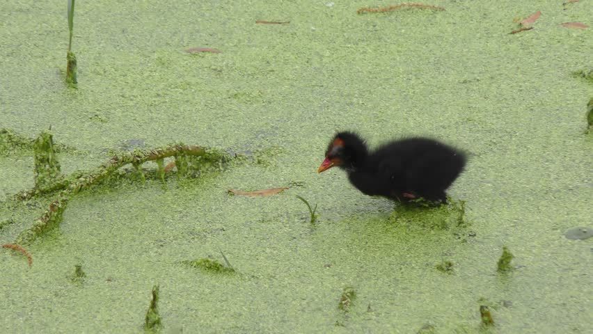 Common Gallinule chick in Florida swamp #24813716