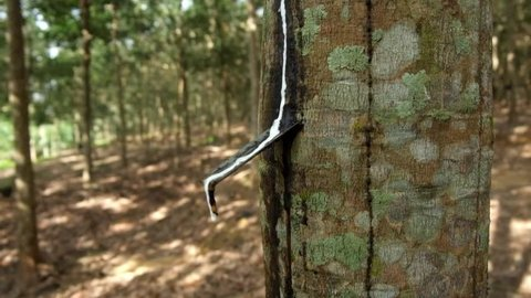 A rubber latex drop from rubber tree. Close up view.