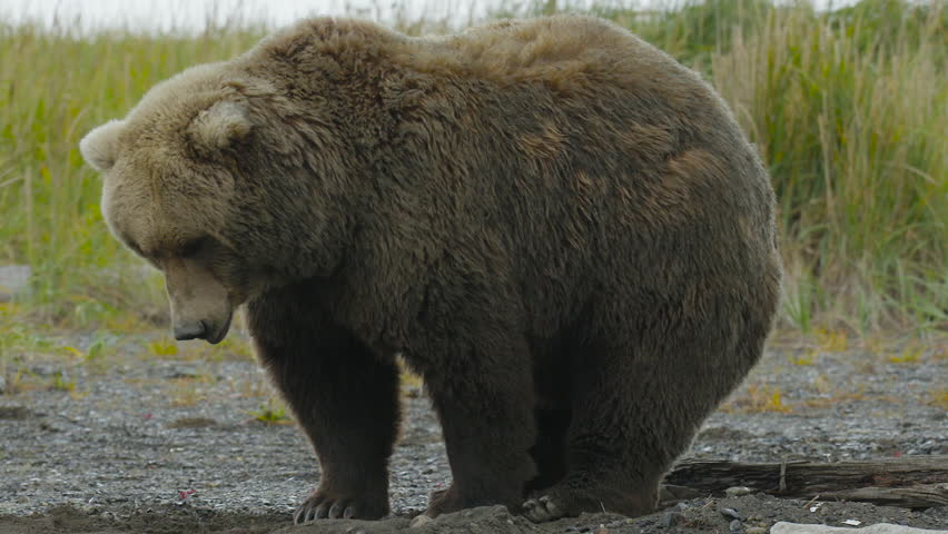 HD Large Grizzly Bear Pooping
