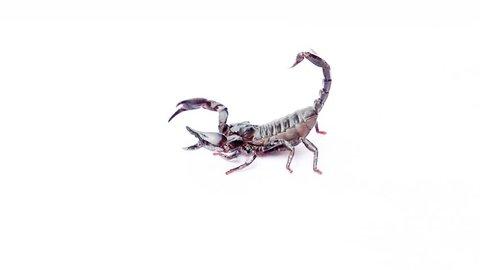 black scorpion on white background