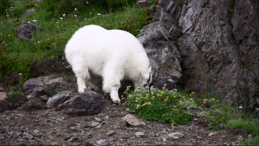 Two male mountain goats grazing