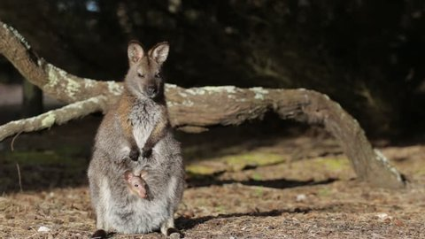 Wallaby with joey relaxing in the sun