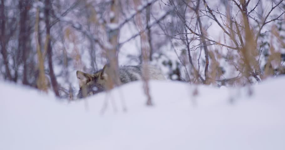 Lone wolf approacing in beautiful winter forest