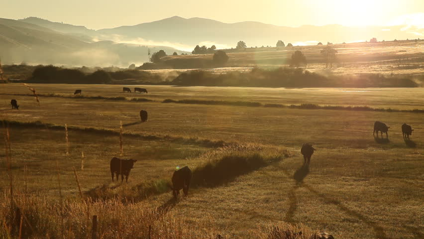 Golden sunset light falls on a herd of cattle grazing in a grassy meadow