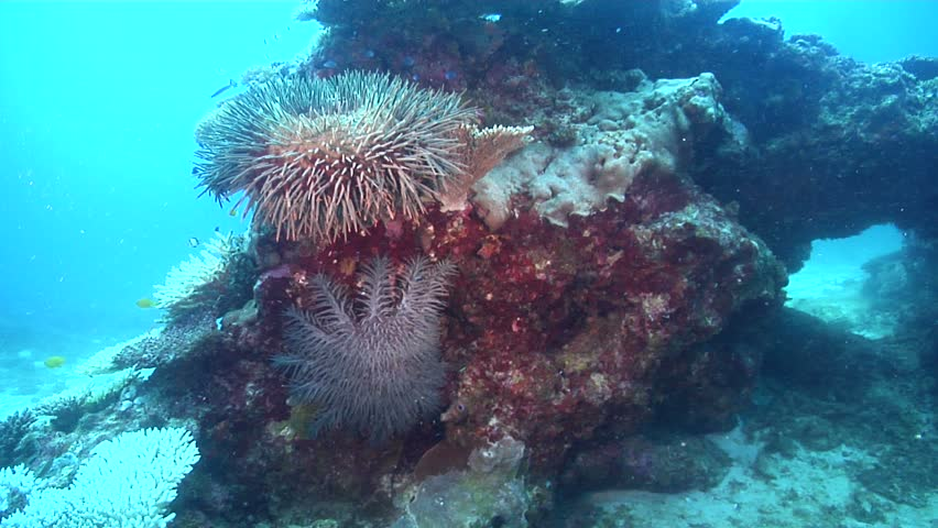 Crown of thorns starfish (Acanthaster planci) at rest underwater in Australia