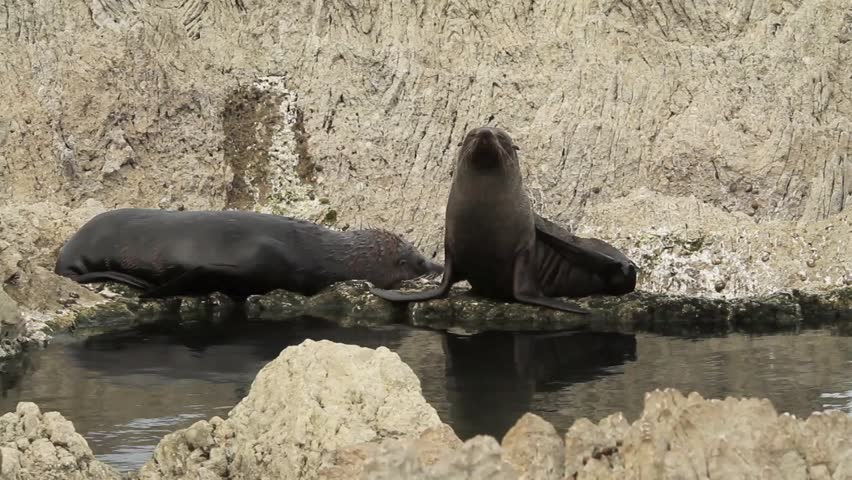 Adult female fur seals (Arctocephalus forsteri) behind a tidal pool and rocky shore, kaikoura