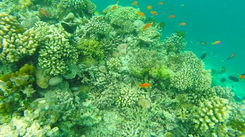 Ocean scenery on shallow coral reef. Underwater video of the ocean. Small fish swim erratically and hidden by algae. Colored corals and fish in the Maldives.