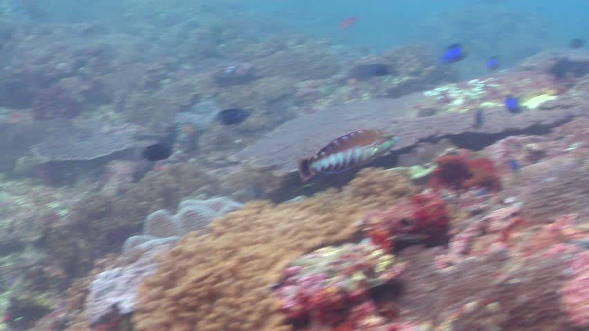 Gunther's wrasse (Pseudolabrus guentheri) swimming underwater in Australia