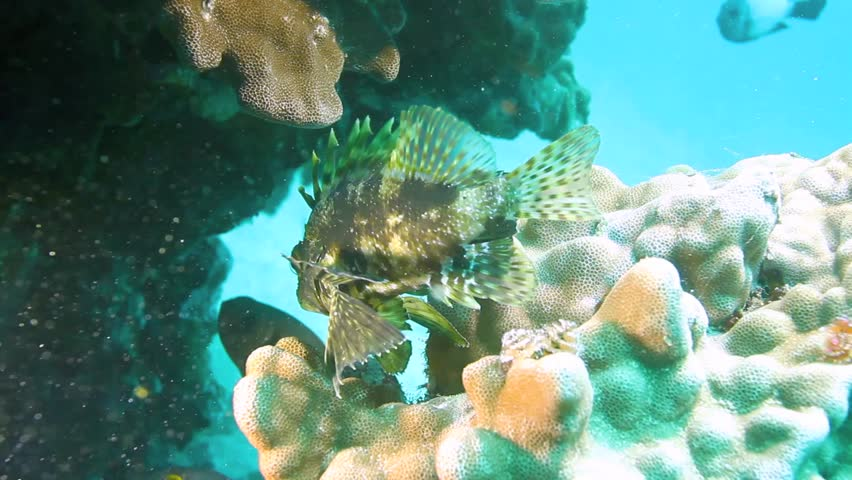 Hawaiian Green Lion fish ( Dendrochirus barberi) on coral reef with floating plankton.
