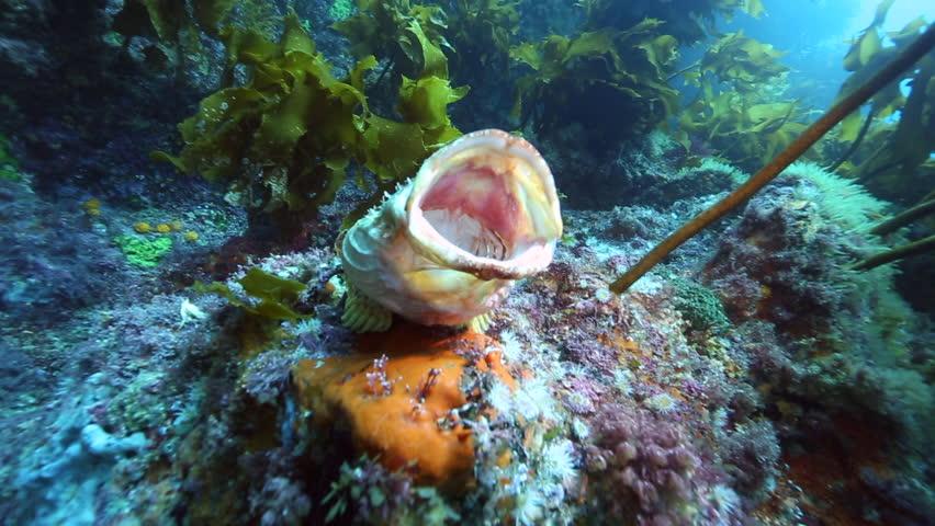 Scorpionfish yawning, Poor Knights Islands