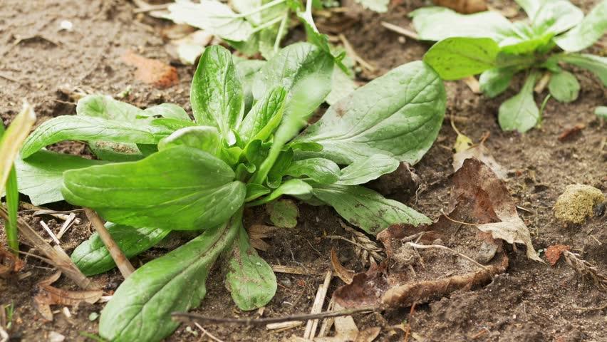 Gardener harvesting field salad (Valerianella locusta)
