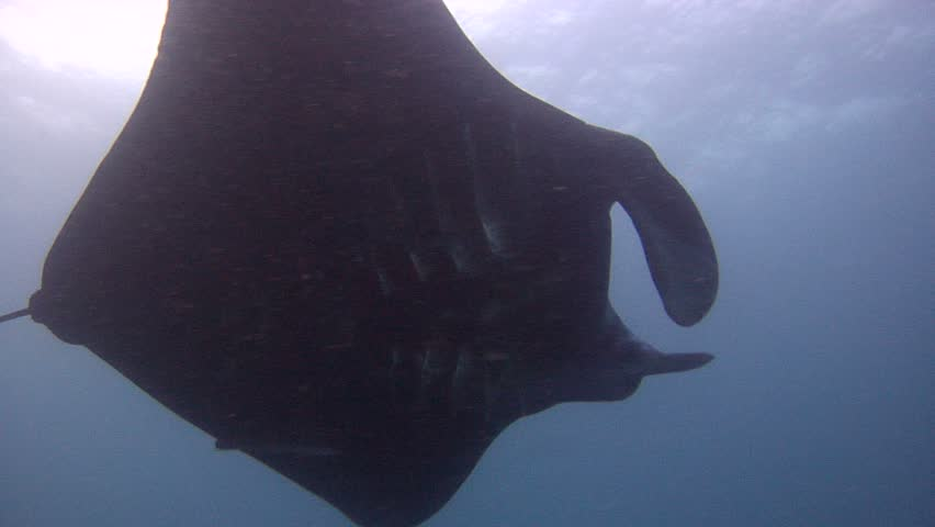 Manta ray (Manta alfredi) swimming underwater in Indonesia