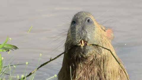 Capybara swimming in the water and eating grass on the shore of the lake.