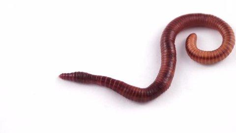 Earthworm on white background, macro photo