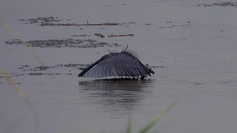 Black Heron Bird. Black Egret or Umbrella Bird.Funny black heron, the bird is fishing with wings that he spreads like an umbrella. Swamp, Rwanda, Africa